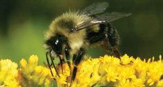 Wild bee abundance in the United States is lowest in agricultural regions, according to a new model.