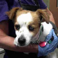 Phoenix Az Chihuahua Meet Eddie A Dog For Adoption With Images Pets Kitten Adoption Dog Adoption