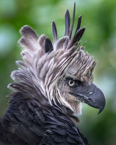 Photo by Karine Aigner, Harpy eagle Harpy Eagle, Bald Eagle, All Birds, Birds Of Prey, What A Beautiful World, Beautiful Birds, Alpacas, National Geographic, Funny Tattoos