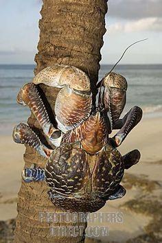 The Giant Coconut Crab, Birgus Latro, is the largest terrestrial crab in the world. Tanzania, Zanzibar, Chumbe Island