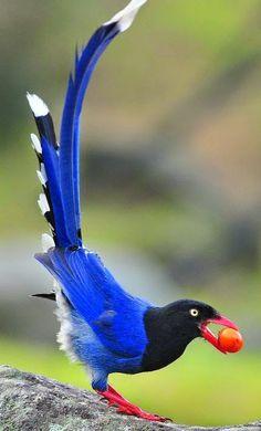 Blue magpie (red billed)..