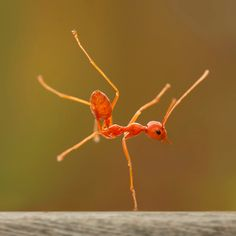 A fire ant appears to be pulling off a one-handed breakdance move on a log. The insect held the pose - known as a hand freeze in breakdancing circles - for 30 seconds. Robertus Agung Sudiatmokos photographed the unusual sight using a macro lens in the village of Cibinong, Indonesia.