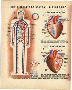 Circulatory System by Irvin Geis Circa 1930 via Michael Stoll Information Design, Information Graphics, Portal Valve, Arteries And Veins, School Of Rock, Weird Science, Human Heart, Circulatory System, Human Anatomy