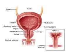 http://www.urologyhealth.org/urology/articles/images/anatomy_Bladder_coronal.jpg