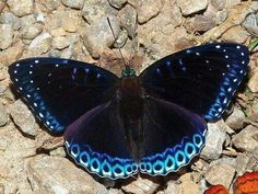 Popinjay (Stibochiona nicea) at Namdapha National Park, Arunachal Pradesh, India - photo by Isaac K. Butterfly Kisses, Blue Butterfly, Butterfly Wings, Flying Insects, Bugs And Insects, Beautiful Bugs, Beautiful Butterflies, Beautiful Creatures, Animals Beautiful