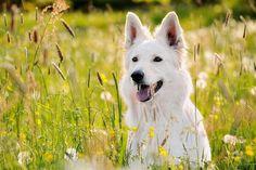 Аллергия у собак: лечение должно быть грамотным! Смотри больше http://kot-pes.com/allergiya-u-sobak-lechenie-dolzhno-byt-gramotnym/
