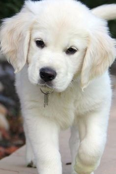 English Cream Golden #GoldenRetriever