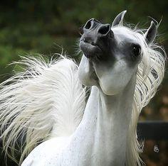 Arabian Knights, Beautiful Arabian Horses, Akhal Teke, All About Horses, Gone With The Wind, White Horses, Horse Breeds, Horse Photography, Horse Head