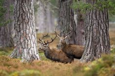 Czy wiecie kto jest prawdziwym królem zwierząt w Anglii?Go ahead and give this a read 🙂 Top 10 ssaków z UK http://storyland14.com/2017/03/01/top-10-ssakow-z-uk/?utm_campaign=crowdfire&utm_content=crowdfire&utm_medium=social&utm_source=pinterest  #animals #deer #england  #travel #forest #nature #uk #zwierzęta #flora