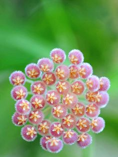 Hoya is a genus of 2 Beautiful gorgeous pretty flowers Wax Flowers, Exotic Flowers, Amazing Flowers, Beautiful Flowers, Beautiful Gorgeous, Garden Plants, Indoor Plants, Fractals In Nature, Hoya Plants