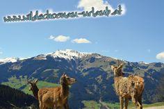 kitzbueheler-alpen-essel-super-extrem-gut-aurach-wildpark-esel-klaus-panorama Super, Mountains, Nature, Travel, Animals, Donkeys, Viajes, Animaux, Traveling