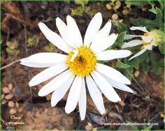 Wyoming Wildflower - Mule's Ears