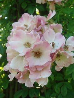 klimroos 'Evangeline' (1906). Zomerbloei. Trossen met  halfgevulde, witte of roze bloemen (4cm) met geschulpte  bloemblaadjes. Geurig. Gevoelig voor meeldauw. Tot 5m.