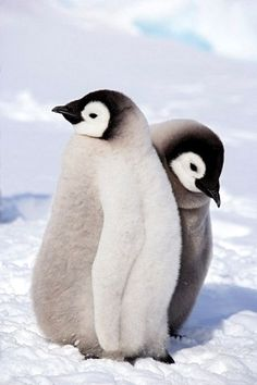 Baby Emperor Penguins, Snow Hill Island, Antarctica - Royalty Free Images, Photos and Stock Photography :: Inmagine Penguin Art, Penguin Love, Cute Penguins, Cute Baby Animals, Animals And Pets, Funny Animals, Beautiful Creatures, Animals Beautiful, Tier Fotos