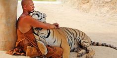 Tiger Temple in Kanchanaburi, Thailand, where 100 tigers live side-by-side with the monks