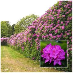 The Rhododendron flowers in summer and spring with beautiful open flowers, with the most popular colours being fuchsia and white, with mint green foliage. Rhododendrons are known for their showy blooms and one of the most popular flowering hedges. Hedges Landscaping, Landscaping On A Hill, Garden Hedges, Backyard Landscaping, Luxury Landscaping, Landscaping Ideas, Rose Hedge, Flower Hedge, Cherry Laurel Hedge