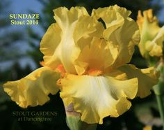 "(Hugh Stout 2014) TB iris, 34"" (86 cm), M-L S. bright warm yellow; F. bright yellow becoming whiter towards middle; beards bright orange-gold; slight sweet fragrance. Sdlg. U31.5: Parentage unknown. E"