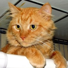 Cowboy is an adoptable Domestic Medium Hair Cat in Eau Claire, WI. Cowboy is a 2-year-old neutered male that has been a resident of the shelter since April 4th, 2012. His is an orange tabby cat with b...