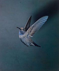 "nirvikalpa: "" Eliot Porter, American, 1901-1990. Blue-Throated Hummingbird, Chiricahua Mountains, Arizona. May 1959. Dye transfer print. 23.7 x 19. """
