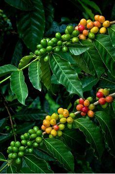 Kahve Çiçeği ve Meyvesi