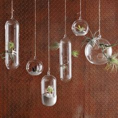 Shane Powers Hanging Glass Bubble Collection - hanging terrarium for donkey tail succulent?