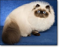 :: CFA Persian Breed Council - Himalayan Division Winners 2012-2013 :: Himalayan Persian Cats, Long Haired Cats, Pet Insurance, Siamese, Division, Blue Eyes, History, Animals, Cats
