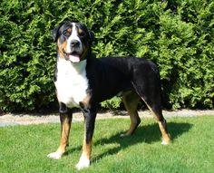 Большой швейцарский зенненхунд (фото): Собака, всегда готовая прийти на помощь Смотри больше http://kot-pes.com/bolshoj-shvejcarskij-zennenxund-foto/