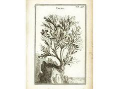 Vintage Sweet Corn Print - Corn Crop - Corn Farming Decor - Agriculture - Corn Cereal Grain Decor - Kitchen Food Art - Botanical Print.  AUTHENTIC FINE COPPER ENGRAVING fro... #lithograph #1700s #antique #fucus #science #drawing