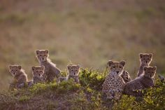Masai Mara, Kenya - REX/Paul Goldstein/Exodus. Cheetah Family