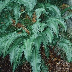 Native to woodlands of the Pacific Northwest, this is a large and striking specimen fern, growing best in regions with similar cool summer conditions. Plants form a clump of long, tapering dark-green fronds, with a. Yoga Garden, Sword Fern, Ferns, Perennials, Westerns, Plant Leaves, Backyard, Profile, Landscape