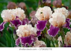 Close Purple Iris Flowers Irises Large Stock Photo (Edit Now) 1736101772 Purple Iris Flowers, Bearded Iris, Free Stock Photos, Photo Editing, Rose, Plants, Image, Editing Photos, Pink