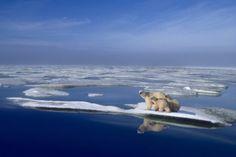 ¿Qué ocurriría con los osos polares si se derritiera el hielo del Ártico?