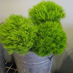 Green Trick Carnation - Tillie's loves these flowers - so much fun!