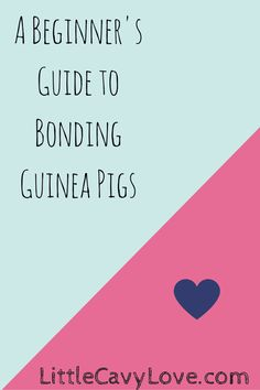 Wanting to bond guinea pigs? Here is what you need to know before you begin! http://wp.me/p5S9qb-a9
