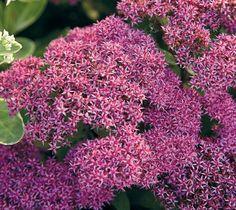 Tall sedum: ' Type: Blooms: flowers from to Light: Size: in. tall, in. wide Cold-hardy USDA zones 3 to 9 Heat-tolerant AHS zones 9 to 1 Shade Garden Design, Habitat Garden, Heat Tolerant Plants, Garden Planning, Flower Garden Plans, Front Yard Plants, Front Yard Garden, Landscaping Plants, Front Garden Design