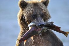 This is the moment a greedy grizzly bear was spotted biting off more than it can chew. Bears are known for their insatiable appetite and judging by this image this bear is no exception.