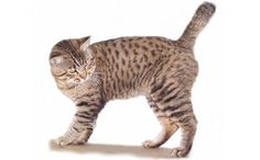 """Mister - the 30 lb. American Bobtail Cat The American Bobtail Cat is an uncommon breed of domestic cat which was developed in the late It is most notable for its stubby """"bobbed"""" tail about one-third to one-half the length of a normal cat's tail. American Bobtail Cat, American Shorthair Cat, Rare Cats, Exotic Cats, Manx, Kittens Cutest, Cats And Kittens, Bobcat Pictures, Lynx"""