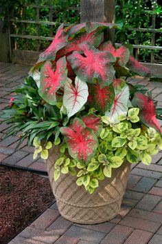 The striking shade-loving caladiums are the thrillers, the tallest plants in the pot, which add visual interest with their coarse, colorful leaves. The fillers are the New Guinea impatiens with their rose-colored flowers and light yellow streaks down the center of the leaves. And the spiller is a variegated Plectranthus, 'Troy's Gold.'