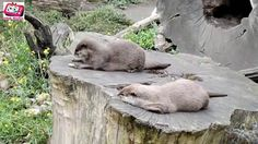 Otter playing with favorite stone