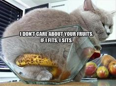 If I Sits, I Splits - LOLcats is the best place to find and submit funny cat memes and other silly cat materials to share with the world. We find the funny cats that make you LOL so that you… Funny Animal Pictures, Funny Animals, Cute Animals, Funniest Animals, Funny Horses, Fat Cats, Cats And Kittens, Fat Kitty, Ragdoll Cats
