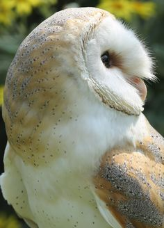 """""""Barn Owl Profile"""" by Clare Forster 