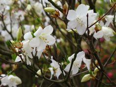 5月17日【ゴヨウツツジ(五葉躑躅)】学名:Rhododendron quinquefoliumBisset et Moore別名:シロヤシオ(白八染)形態:落葉樹 樹高:小高木分類:ツツジ科花色:白色使われ方:庭木、公園樹などとして使われています。枝先に5枚の葉が輪生状に付くことから、このように呼ばれています。ちなみに、ミツバツツジと呼ばれるツツジもあります。こちらは花が終わってから葉が出てきて、枝先に三枚の葉がつくことからこの名がつきました。明日植樹イベントを開催する甲斐市にも近い景勝地「昇仙峡」の渓谷の4~5月に咲く紅紫色のミツバツツジの群生は、息をのむほどの美しさです。ゴヨウツツジは、敬宮愛子内親王殿下のお印としても知られています。