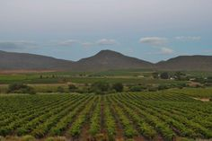 Breede Valley, McGregor Cape Dutch, Grape Vines, Homesteading, South Africa, The Row, Landscape, Plants, Outdoor, Plant Bed