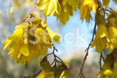 Spring Kowhai Flowers in Soft Focus royalty-free stock photo Spring Images, Golden Flower, Kiwiana, Blue Springs, Medicinal Plants, Native Plants, Embedded Image Permalink, Image Now, New Zealand