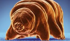 """An illustration of a tardigrade.The creatures, known as tardigrades, are staggeringly hardy water-dwelling animals.    """"They can survive incredible conditions – we are talking close to absolute zero, the vacuum of space, exposure to radiation that would kill us, and these things just walk away from it like nothing happened,"""""""