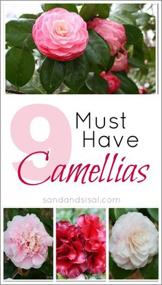DIY:: 9 Must Have Camellias !! These are Beautiful ! We have them all over our front yard ! They Optimize Curb appeal & Smell Delisicious ! by @K D Eustaquio wilson Sand and Sisal