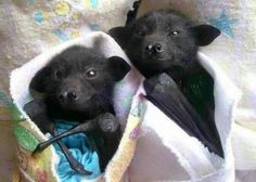 Little baby bats
