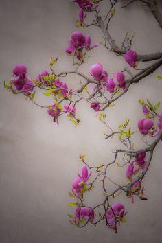 thelionandthelass: Magnolia bloom by Rucsandra Calin on Fivehundredpx Spring Blossom, Blossom Flower, Flower Art, Flower Names, Flower Phone Wallpaper, Pink Garden, Magnolias, Flower Pictures, Amazing Flowers