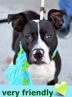 Brooklyn Center OONYX – A1057599 FEMALE, BLACK / WHITE, AM PIT BULL TER MIX, 4 mos OWNER SUR – EVALUATE, NO HOLD Reason PERS PROB Intake condition EXAM REQ Intake Date 11/11/2015 http://nycdogs.urgentpodr.org/ooynx-a1057599/