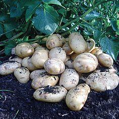 International Kidney potatoes - aka Jersey Royals